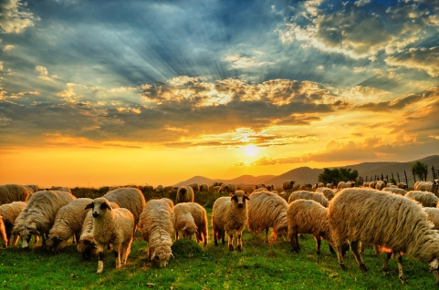 shutterstock_279608516-sheep (1)